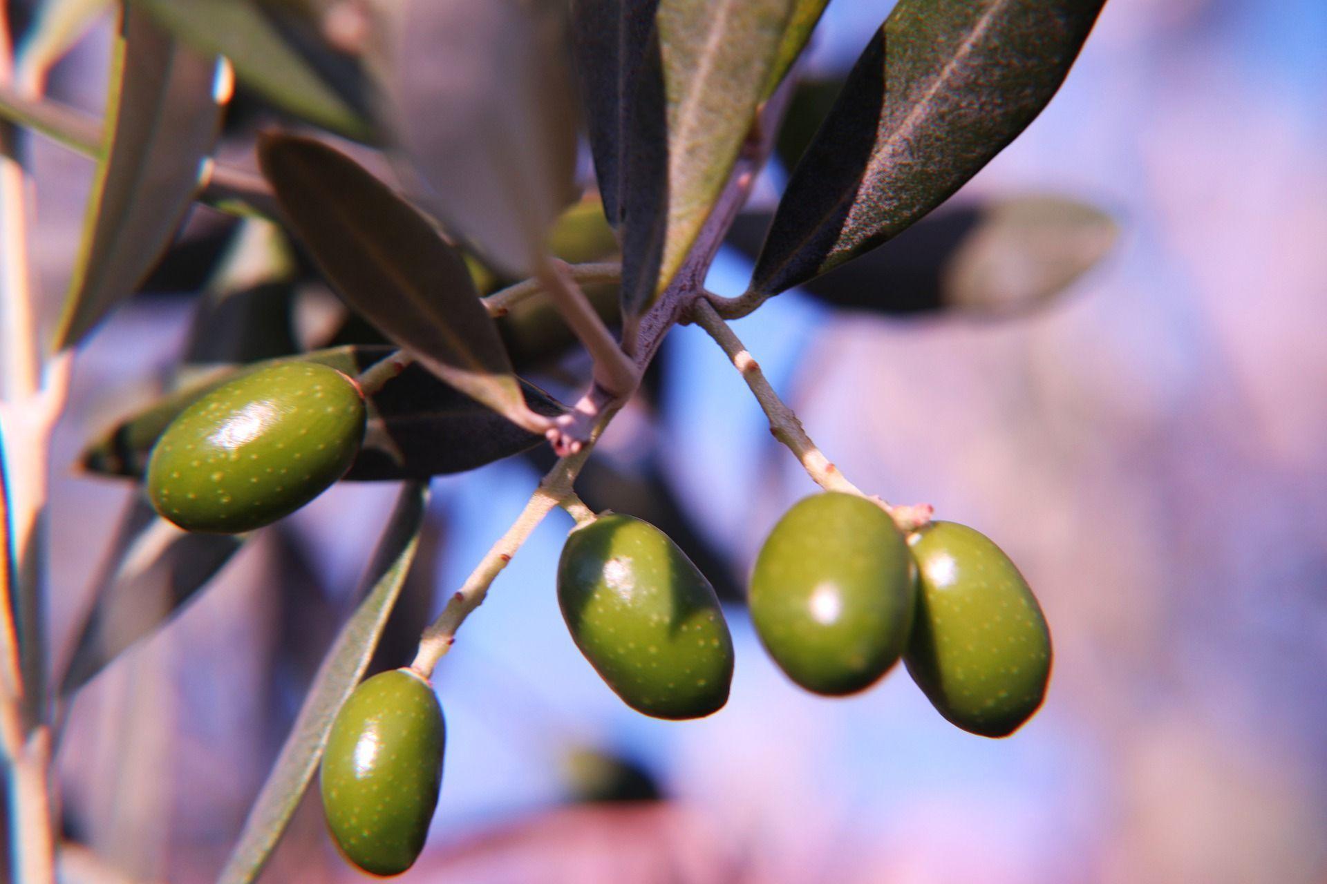 cuales son los mejores aceites de oliva